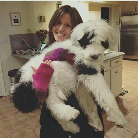 doodle darlings indiana 1000 images about sheepadoodle on