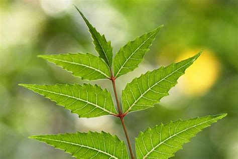 neem oil for bed bugs neem bed bugs 28 images the best 28 images of neem for