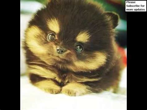 pictures of pomeranian huskies pomeranian husky collection of pictures pomeranian husky dogs