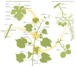 important structures features of grapevines 171 lodi growers