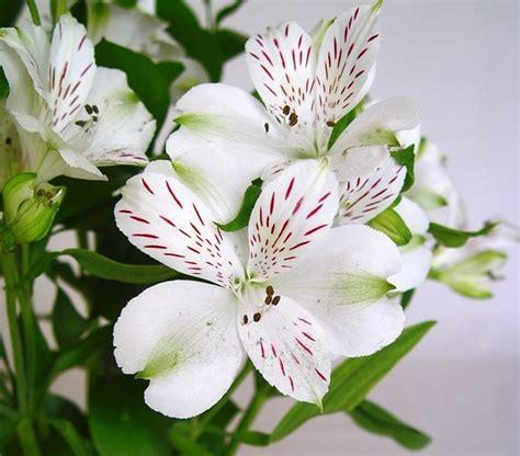 alstroemeria fiore alstroemeria piante da giardino variet 224 giglio