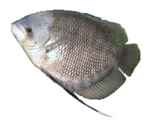 Lele Segar menjual berbagai jenis ikan segar seperti ikan lele