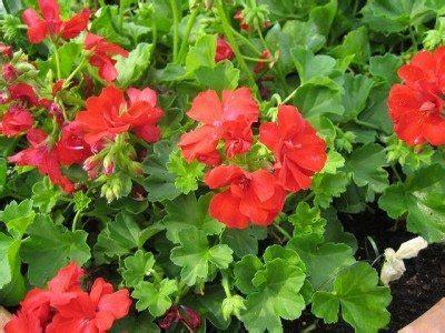 geranium care   grow geraniums