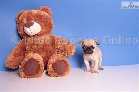pug puppies for sale columbus ohio fancy pug puppy for sale near columbus ohio 80dc1c13 6341
