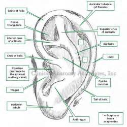 ear anatomy external human anatomy