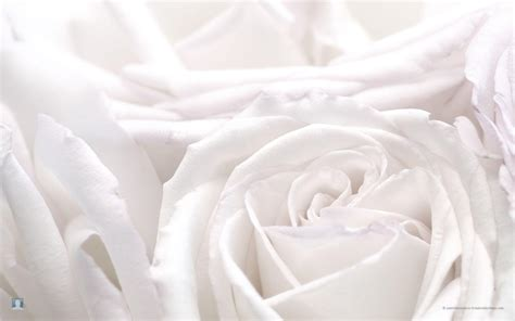 wallpaper background white white roses backgrounds wallpaper cave