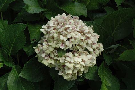Wedding Ring Hydrangea by Wedding Ring Hydrangea Hydrangea Macrophylla Fanfare