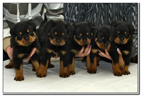 rottweiler puppies for sale in missouri german rottweiler breeder in missouri with rottweiler puppies for sale