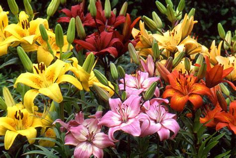 lilies or lillies asiatic lilies