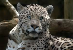 White Jaguar Cat White Jaguar By Moonsongwolf On Deviantart