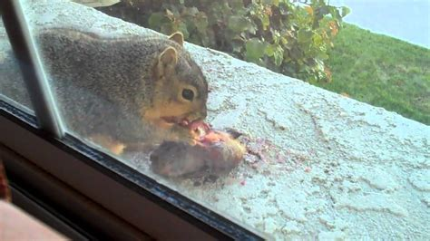 carnivorous chipmunk or squirrel eating a bird youtube