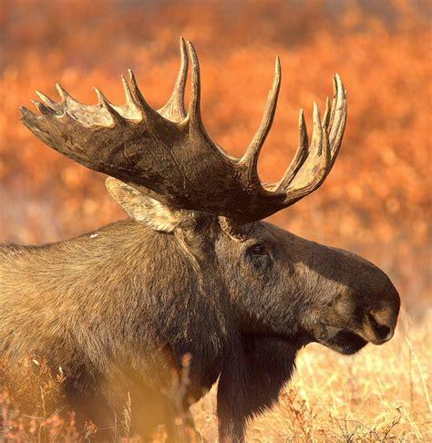 Bull Moose Also Search For Black Dominate Bull Moose Denali Alaska Things I