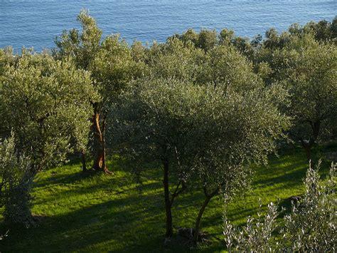 in liguria file olivi in liguria jpg wikimedia commons