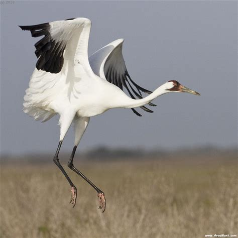 whooping crane flight photo