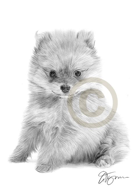 pomeranian drawings pencil drawing of a pomeranian puppy by artist gary tymon
