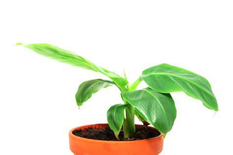 Pflege Bananenpflanze by Bananenpflanze Im Zimmer 187 Pflegehinweise