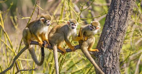 amazon rainforest monkeys pictures facts information