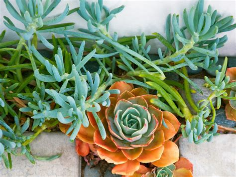 How To Propagate Succulents Sunset - how to grow succulents sunset