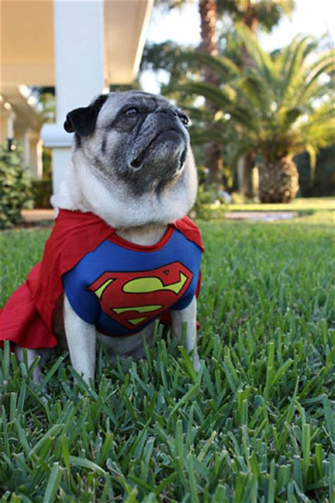 pug in superman costume happy from the pugs the pug