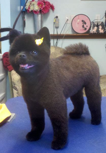 how to do a cut on a pomeranian black pomeranian haircuts www imgkid the image kid has it