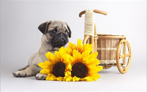 pug backgrounds for desktop free desktop pug wallpapers pixelstalk net