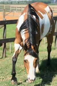 american paint horse western quarter paint horse paint
