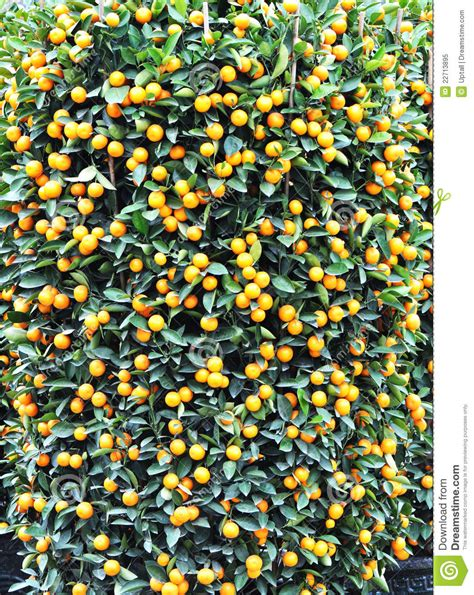 orange trees new year new year orange tree stock image image 22713895