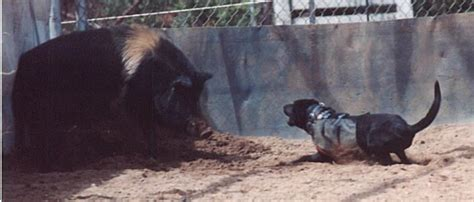 boar s dogs 29 best hog dogs images on hog hog and working dogs