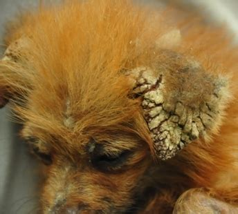 Obat Jamur Kucing shoo jamur kulit yang bagus buat anjing dan kucing