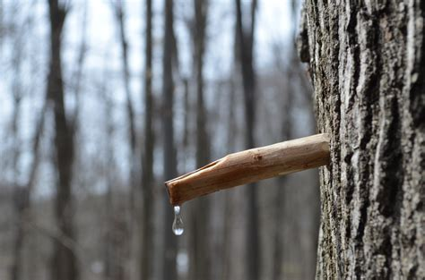 Backyard Maple Sugaring The Sweet Flow Of Sweet Maple Sap Now Beautifulnow