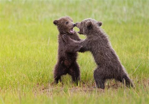 Grizzly Bear Cubs Playing | grizzly bear cubs playing