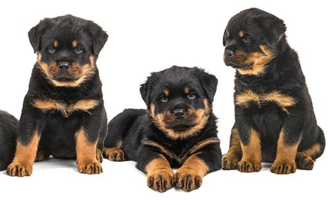 cool rottweiler names rottweiler names 100 great ideas for naming your rottie