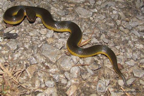 Water Snake by Water Snake Reptiles And Hibians Of Bangkok