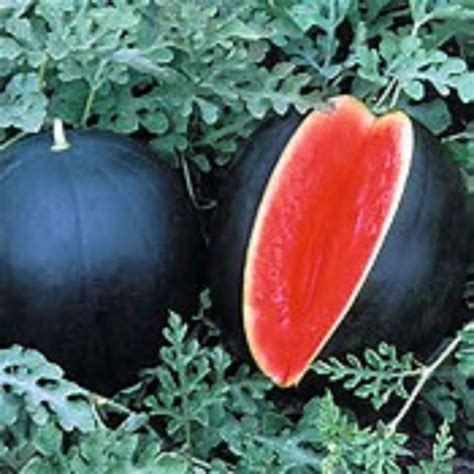 Tomato Tree by 25 Blacktail Black Cannonball Watermelon Seeds Heirloom No