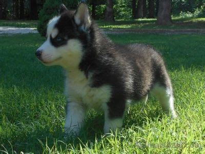 husky puppies for sale in orlando akc siberian husky puppies for sale dogs buy or for sale price