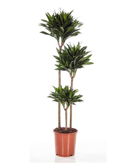 buy house plants now dracaena marginata green bakker com buy house plants now dracaena 3 trunks janet craig