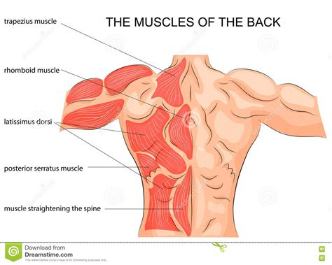 muscle back images human anatomy organs diagram