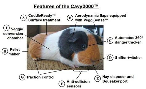 guinea pig diagram guinea pig fuzzy today page 2