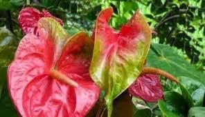 Pupuk Untuk Bunga Anthurium cara merawat tanaman dan aneka tanaman hias cara menanam