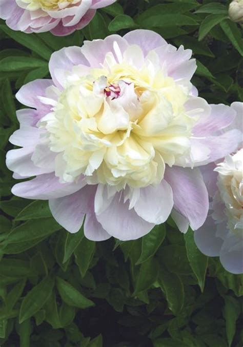 peony the best varieties for your garden books 86 best images about peonies on gardens