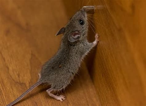 house mouse types of rodents in new york