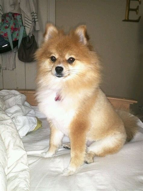 clipped pomeranian pomeranian haircuts pictures