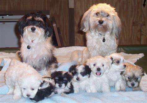 types of havanese file havanese litter png wikimedia commons