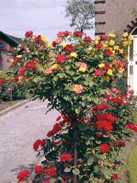 holes  leaves  rose bushes home guides