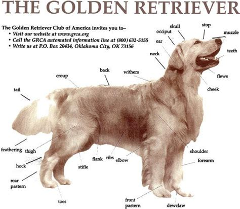 golden retriever obedience 17 best images about golden retrievers obedience