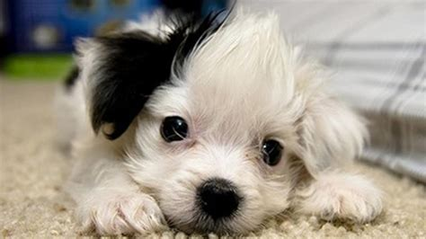 wallpaper of cute puppies september 2012 dogs wallpapers backgrounds