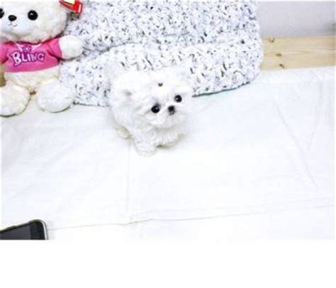 teacup puppies for sale in ohio 200 teacup maltese puppies for sale offer 200 250 for sale pets breeds picture
