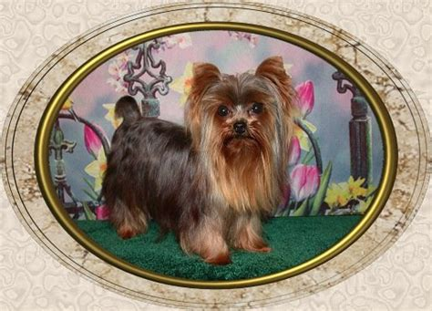 how big do teacup yorkies get grown teacup yorkie weight stud teacup weight yorkie breed your stud