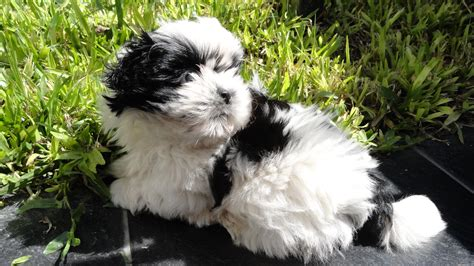 my shih tzu puppy shih tzu images my new shih tzu puppy hd wallpaper and background photos 36928809