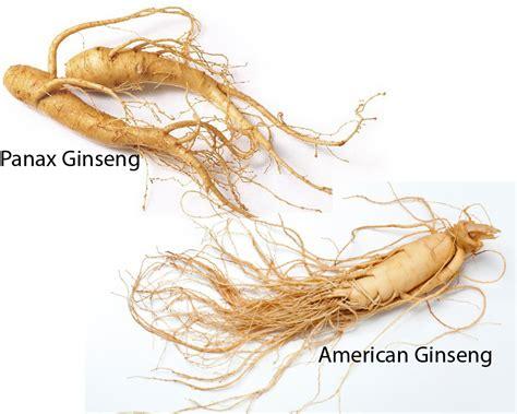 Korean Ginseng panax ginseng vs american ginseng thosefoods